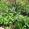 Native Bluebells - Ivy Creek Natural Area - 4/12/15