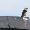 Eastern Bluebird - Ivy Creek Natural Area, Charlottesville, VA
