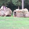 Children Climbing All Over and Into Poplar Lots - Kemper Park & Arboretum - Charlottesville, VA
