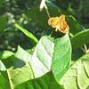 Zabulon Skipper Butterfly - Kemper Park & Arboretum - Charlottesville, VA