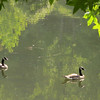 Two Young Canada Geese - Kemper Park & Arboretum - Charlottesville, VA