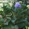 Hydrangea - 'All Summer Beauty' - Lewis Ginter Botanical Gardens - Richmond, VA<br /> aka BigLeaf Hydrangea