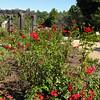 Hybrid Tea Rose ('Flight 93') - Lewis Ginter Botanical Gardens - Richmond, VA