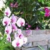 Pink & Fuschia Orchids - Conservatory Garden - Lewis Ginter Botanical Gardens - Richmond, VA