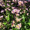 Ajuga Reptans 'Jungle Beauty Improved' - Lewis Ginter Botanical Gardens - Richmond, VA