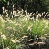 Wispy Grasses - Lewis Ginter Botanical Gardens - Richmond, VA