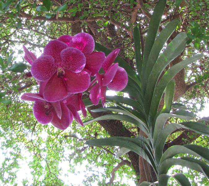 Deep Pink Orchid - Conservatory Garden - Lewis Ginter Botanical Gardens - Richmond, VA<br /> Unknown variety.