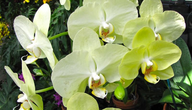 Moth Orchid (Phalaenopsis 'Green Joe') - Conservatory Garden - Lewis Ginter Botanical Gardens - Richmond, VA