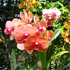 Moth Orchid (Phalaenopsis) - Conservatory Garden - Lewis Ginter Botanical Gardens - Richmond, VA