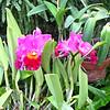 Corsage Orchid (Rhyncholaeliocattleya 'Sybil Farewell') - Conservatory Garden - Lewis Ginter Botanical Gardens - Richmond, VA