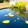 "Water Platter Lily (Victoria cruziana) - Pond Outside of Conservatory Entrance - Lewis Ginter Botanical Gardens - Richmond, VA We saw many more of these lilies at <a href=""http://donnawatkins.smugmug.com/Travel/North-Carolina/Duke-Gardens-Summer/i-jrccnc8""><b>Sarah Duke Gardens in Durham, NC</b></a>."