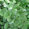 Closeup of Silver Dollar Fern (Rumohra adiantiformis) - Conservatory Garden - Lewis Ginter Botanical Gardens - Richmond, VA