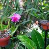 Corsage Orchid (Cattleya 'Ingrid') - Conservatory Garden - Lewis Ginter Botanical Gardens - Richmond, VA