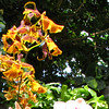 Dancing Lady Orchid (Gombrassiltonia 'Hilo Gold') - Conservatory Garden - Lewis Ginter Botanical Gardens - Richmond, VA