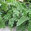 Silver Dollar Fern (Rumohra adiantiformis) - Conservatory Garden - Lewis Ginter Botanical Gardens - Richmond, VA<br /> Very unusual leaf!  Doesn't even look like a fern at all.
