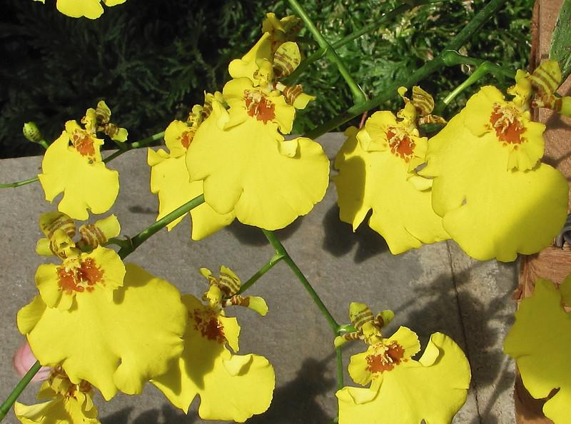 Sweet Sugar Orchid (Oncidium) - Conservatory Garden - Lewis Ginter Botanical Gardens - Richmond, VA