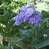 Closeup of Hydrangea - 'All Summer Beauty' - Lewis Ginter Botanical Gardens - Richmond, VA