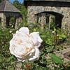 Soft White Rose - Lewis Ginter Botanical Gardens - Richmond, VA