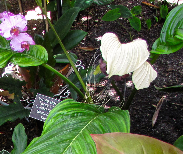 White Bat Flower (Tacca integrifolia) - Conservatory Garden - Lewis Ginter Botanical Gardens - Richmond, VA - Version 2<br /> Native in East India to South China, Borneo, and West Java.