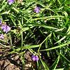 Spiderwort - Lewis Ginter Botanical Gardens - Richmond, VA
