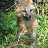 Playful Fox - Wildlife Area - Maymont - Richmond, VA