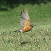 Maymont - Richmond, VA - Robin In Flight
