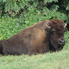 Bison - Wildlife Area - Maymont - Richmond, VA<br /> Bison were at one time native to Virginia.