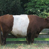 Dutch Belted Cow - Children's Farm - Maymont - Richmond, VA