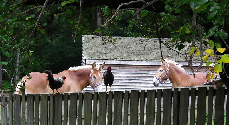 Belgium Draft Mules and Chickens on Fence - Meadow Farm - Glen Allen, VA