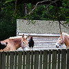Belgium Draft Mules and Chickens on Fence - Meadow Farm - Glen Allen, VA