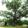 Huge Willow Oak - Meadow Farm - Glen Allen, VA<br /> There were many of these on the property from 100-250 years old.