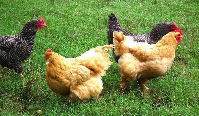 Chickens - Meadow Farm - Glen Allen, VA