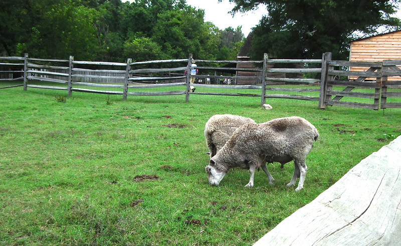 Gulf Coast Sheep - Meadow Farm - Glen Allen, VA<br /> Gulf Coast sheep, also known as Gulf Coast Native sheep, Woods sheep, and Native sheep, descend from the Spanish flocks brought to the New World by explorers and settlers beginning in the 1500s. The genetic origins of the Gulf Coast breed are not known, since a wide variety of types and breeds of sheep existed in Spain at that time. Churro sheep, multi-purpose animals used for meat, milk, and coarse wool, were commonly brought to the Americas by the Spaniards, however, and may well have contributed to the breed's foundation. At the same time, the Gulf Coast's fine wool suggests a contribution from pre-Merino types as well.