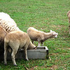 Gulf Coast Sheep - Meadow Farm - Glen Allen, VA<br /> The baby lamb was so cute.  She kept going from one trough to the other trying to get in them.  Grass always looks greener ….