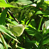 Cabbage White Sulphur Butterfly (Pieris rapae) - Meems Covered Bridge - Mount Jackson, VA