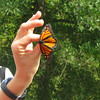 Demonstration of Tagging and Release - Monarch Tagging at Ivy Creek Natural Area - Charlottesville, VA  9-28-08