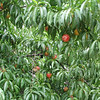 Fruit Trees Are Abundant at Monticello - Southern Terrace Area