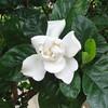 Gardenia Blossom - Monticello - Southern Terrace