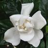 Gardenia Blossom - Monticello