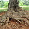 Tree Roots Of A Sugar Maple Down By Mulberry Row