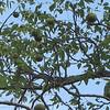 Many Black Walnut Trees - Montpelier Restoration Celebration, Orange, VA