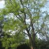 Black Walnut Tree Planted During James Madison's Era - Montpelier Restoration Celebration, Orange, VA