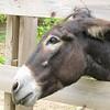 Sweet Rosie Rou the Donkey - Mountainside Petting Farm - Afton, VA  9-3-10
