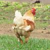 Fluffy Chicken - Mountainside Petting Farm - Afton, VA  9-3-10