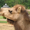 Chloe's Camel Pouting Profile - Mountainside Petting Farm - Afton, VA  9-3-10