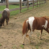 Ponies - Mountainside Petting Farm - Afton, VA  9-3-10