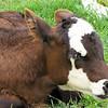 Calf - Mountainside Petting Farm - Afton, VA  9-3-10