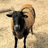 Beautiful Coloring on Sheep - Mountainside Petting Farm - Afton, VA  9-3-10