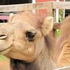 Chloe the Camel is All Love - Mountainside Petting Farm - Afton, VA  9-3-10