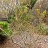 Japanese Garden - Japanese Maple (Acer palmalum) - Norfolk Botanical Gardens<br />  'Mikawa Yatsubusa'